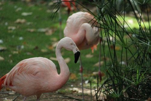 flamingo wildlife pink