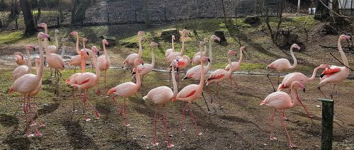 flamingo flamingo flock animal herd