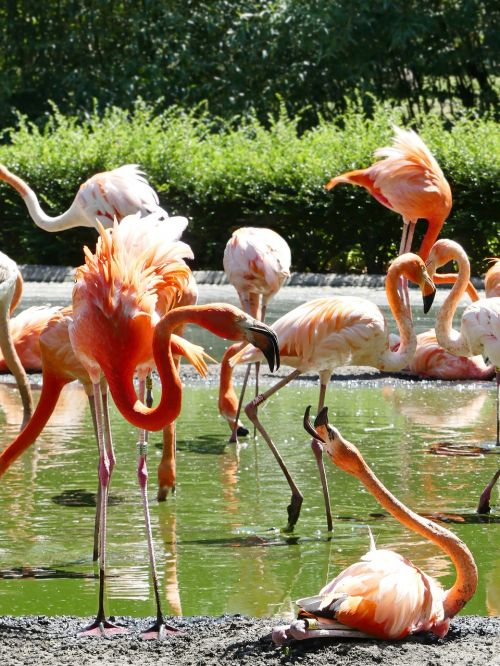 flamingo flamingos pink
