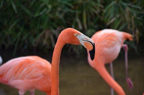 flamingo portrait head