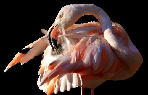flamingo bird colorful