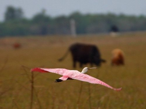 flamingo flight fly