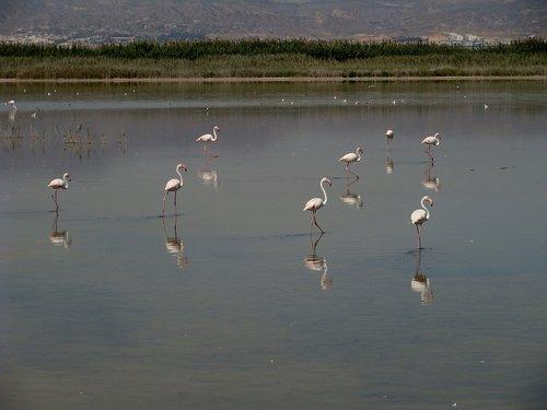 flamingo  wildlife  bird