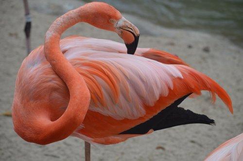 flamingo  san diego zoo  pink
