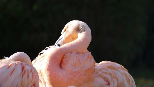 flamingo  pink  bird