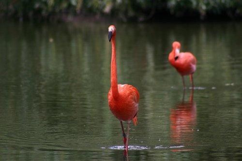 flamingo  zoo  pink