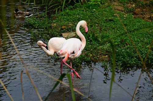 flamingo pink bird