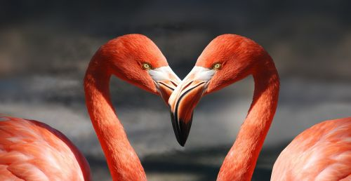 flamingo valentine heart