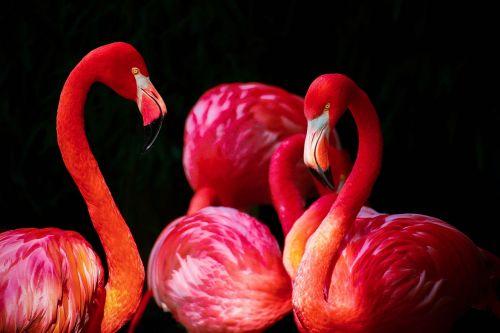 flamingo phoenicopterus flamingos