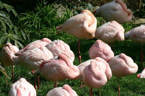 flamingo sleep deprivation sleeping