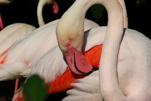 flamingo pink phoenicopterus roseus flamingo