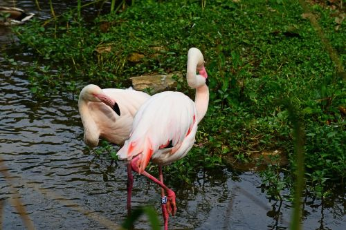 flamingoes pink bird