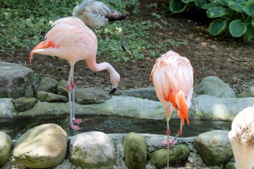 Flamingos - 01