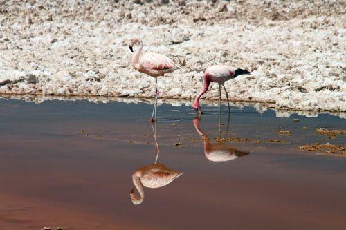 flamingos pink atacama desert