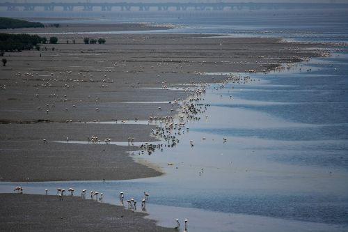 flamingos bird feeding