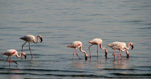 flamingos birds avian