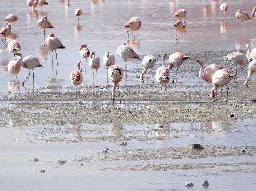 flamingos lagoon bolivia