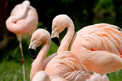 flamingos birds pink