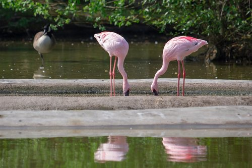 flamingos  pink  pink flamingos