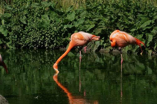 flamingos  mirroring  zoo