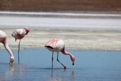 flamingos  lake  atacama