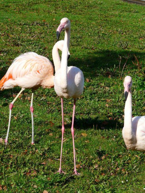 flamingos white stilts feet