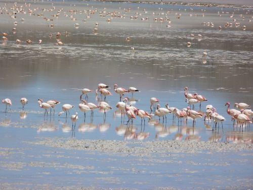 flamingos andean lagoon