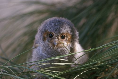 flammulated owl nestling portrait