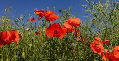 flanders poppy  red  blossom