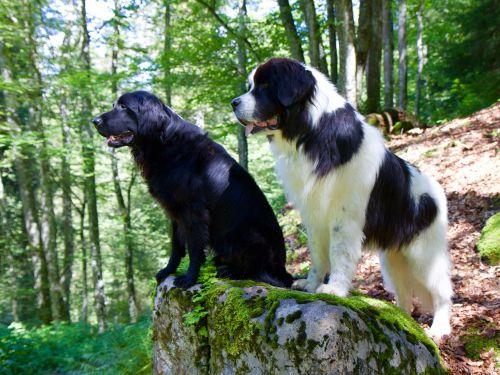 flat coated retriever landseer dog