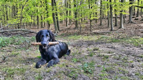 flatcoated retriever flat coated retriever dog