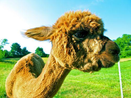 fleece alpaca fur