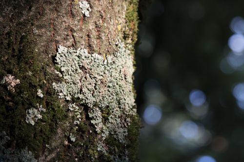 fletche tree bark