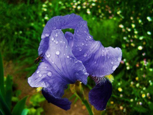 fleur-de-lis raindrops bluish-violet flower spring