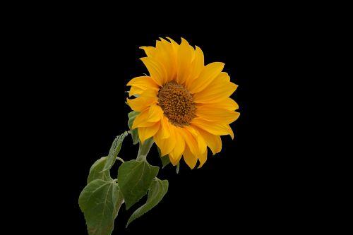 gėlė, saulėgrąžos, flora, botanika, žydi, geltona & nbsp, gėlė, vasara & nbsp, gėlė, kaimas, žiedlapiai, saulėgrąžų gėlė