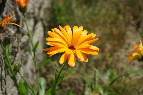 Gerbera, gėlė, flora, botanikos, sodas, žydėjimas, geltona, žiedlapiai, vasara, augalas, gėlių gerbera