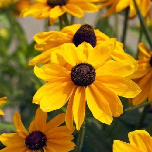 Flower Variety Rudbeckia