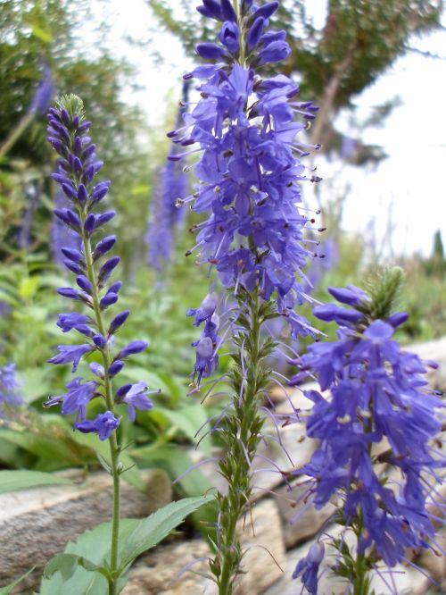Purple Blue Flowers Purple
