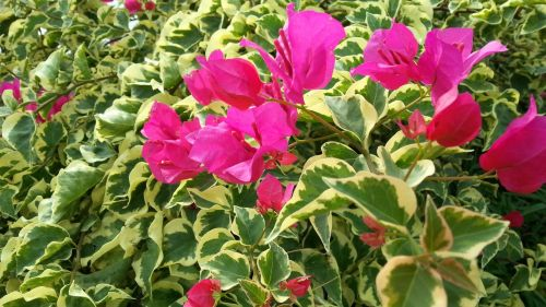Bougainvillea Flowers And Ivy