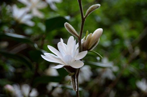 Flowers Of Magnolias