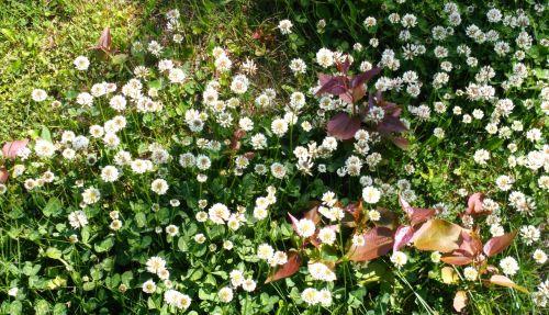 Clover Flowers - 1