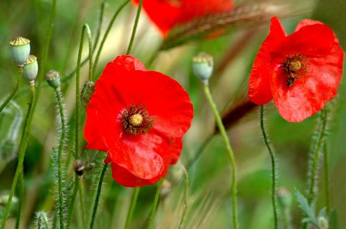 fleurs des champs poppies nature