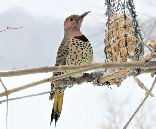 flicker woodpecker  woodpecker  eating