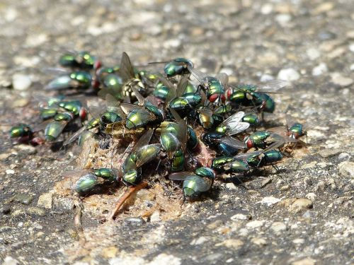 flies insect vermin