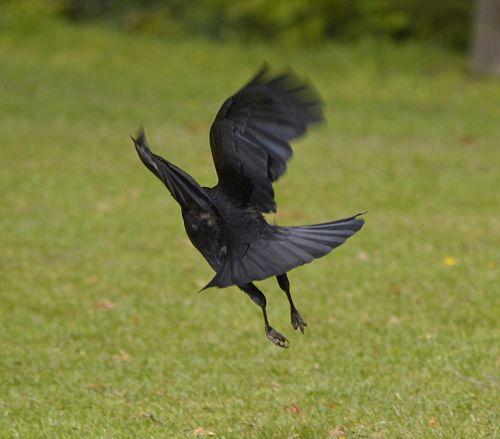 flight jackdaw bird
