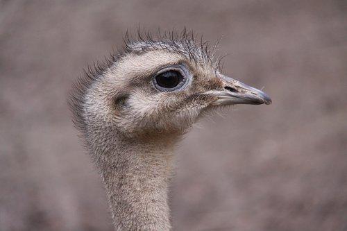 flightless bird  rhea bird  darwin-nandu