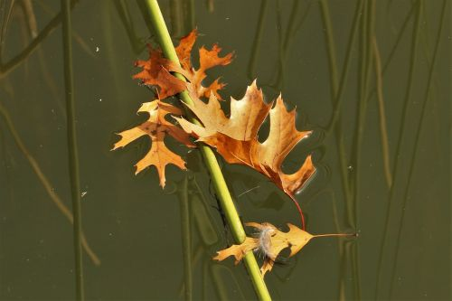 Floating Oak Leaves And Feather