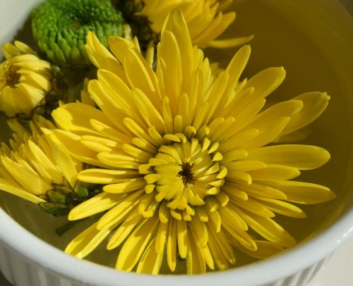 floating yellow chrysanthemums mum blossom