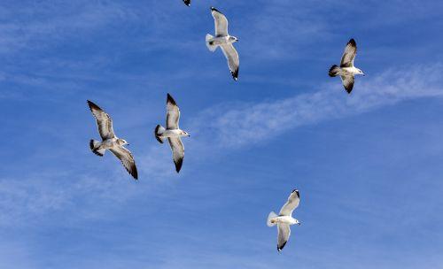 flock sea gulls wildlife