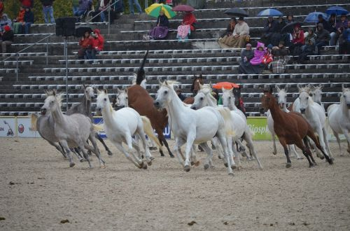 flock mare thoroughbred arabian